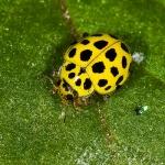 Psyllobora vigintiduopunctata - Citroenlieveheersbeestje
