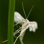 Familia Pterophoridae - Vedermotten