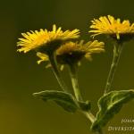 Pulicaria dysenterica - Heelblaadjes