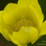 Pulsatilla alpina subsp. apiifolia - Gele Alpenanemoon