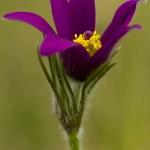 Pulsatilla vulgaris - Wildemanskruid