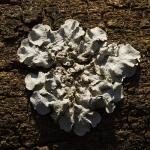 Punctelia borreri - Witstippelschildmos