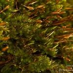 Pylaisa polyantha - Boommos