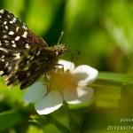 Pyrgus malvae - Aardbeivlinder