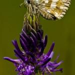 Pyrgus warrenensis - Alpenspikkeldikkopje