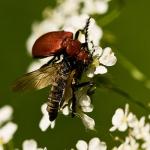 Familia Pyrochroidae - Vuurkevers