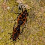 Pyrrhocoris apterus - Vuurwants