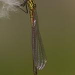 Pyrrhosoma nymphula - Vuurjuffer