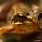 Rana temporaria - Bruine kikker