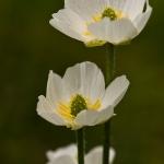 Ranunculus kuepferi