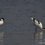 Recurvirostra avosetta - Kluut