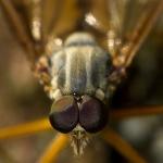 Rhagio scolopaceus - Gewone Snipvlieg