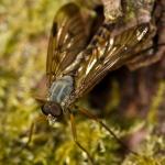 Familia Rhagionidae - Snipvliegen
