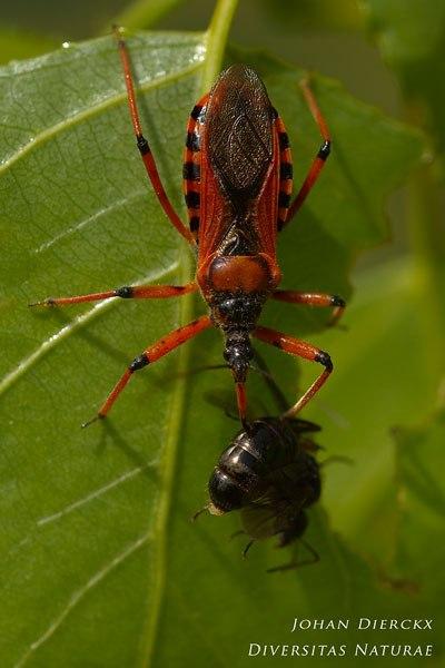 Rhynocoris iracundus - Rode roofwants