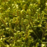 Rhytidiadelphus loreus - Riempjesmos