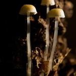 Roridomyces roridus - Slijmsteelmycena