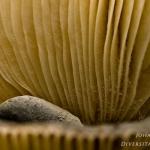 Russula parazurea - Berijpte russula