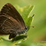 Satyrium ilicis - Bruine eikenpage