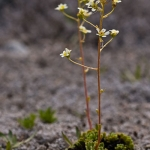 Saxifraga paniculata - Trossteenbreek