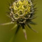 Scabiosa columbaria - Duifkruid