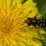 Scaeva selenitica - Gele Halvemaanzweefvlieg