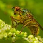 Familia Scathophagidae - Strontvliegen