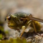 Scathophaga stercoraria - Strontvlieg