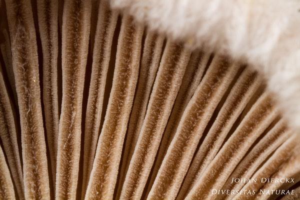 Schizophyllum commune - Waaiertje