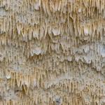 Schizopora radula - Splijtende tandzwam