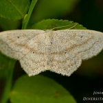 Scopula nigropunctata - Zwartstipspanner