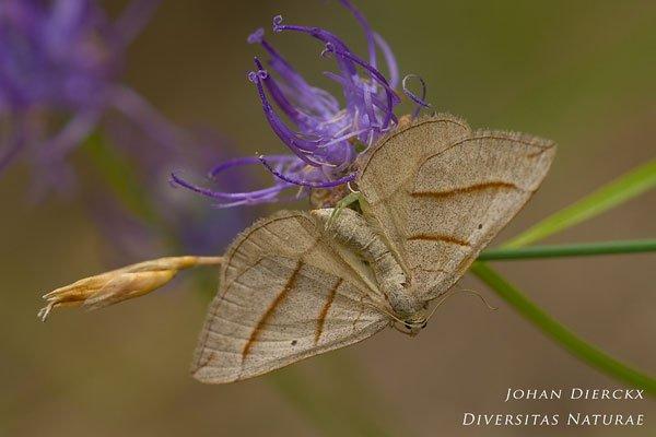 Scotopteryx luridata - Late bremspanner