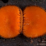Scutellinia scutellata - Gewone wimperzwam