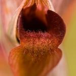 Serapias orientalis - Oosterse tongorchis