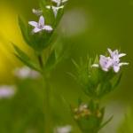 Familia Rubiaceae - Sterbladigenfamilie