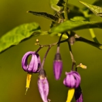 Familia Solanaceae - Nachtschadefamilie