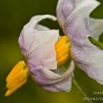 Solanum tuberosum - Aardappel