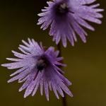 Soldanella alpina - Alpenkwastjesbloem