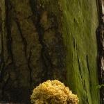 Sparassis crispa - Grote Sponszwam