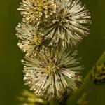 Familia Typhaceae - Lisdoddefamilie