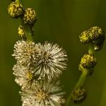 Sparganium erectum - Grote egelskop