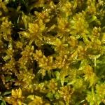 Sphagnum denticulatum - Geoord veenmos