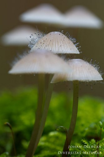 Spinellus fusiger - Mycenaparasiet