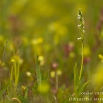 Spiranthes lucida - Glansschroeforchis