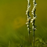 Genus Spiranthes