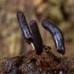 Stemonitopsis typhina - Zilveren Schijnpluimpje