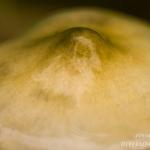 Stropharia aeruginosa - Echte kopergroenzwam