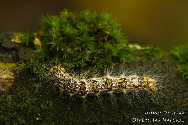 Subacronicta megacephala - Schilddrager