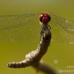 Sympetrum sanguineum - Bloedrode heidelibel