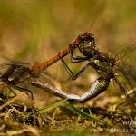 Sympetrum striolatum - Bruinrode heidelibel
