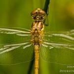 Sympetrum vulgatum - Steenrode heidelibel